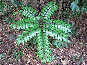 Cycad - Bowenia spectabilis : plant with single frond in the Daintree rainforest, north-east Queensland