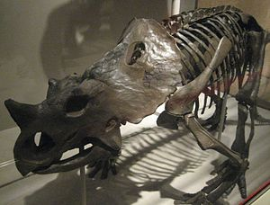 Brachyceratops - The skeleton mounted in the Smithsonian