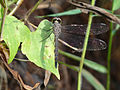 Brachydiplax chalybea juvenile male in Kadavoor.jpg