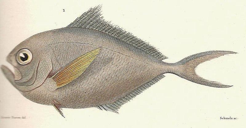 File:Brama australis from Cuvier-44-Castagnole-Pemphéride-Archers.jpg