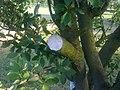 Branche coupée de mirabellier à Grez-Doiceau 001.jpg