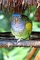 Brazil-01508 - Blue-headed Parrot (48994759268).jpg