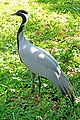 Brazil-01511 - Demoiselle Crane (48995500427).jpg