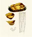Bresadola - Aleuria vesiculosa var succinea.png