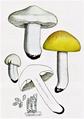 Bresadola - Tricholoma georgii.png
