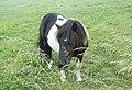 Bressay Shetland Pony.jpg