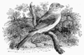 Brief History of Wood-engraving Bewick Yellowhammer.png