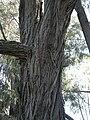 Brigalow bark.jpg