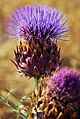 Brightly colored thistle (2666369833).jpg