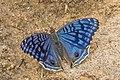 Brilliant blue (Junonia rhadama).jpg