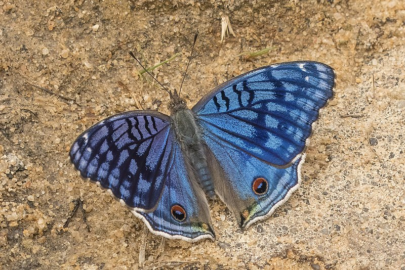 Bộ sưu tập cánh vẩy 6 - Page 18 800px-Brilliant_blue_%28Junonia_rhadama%29