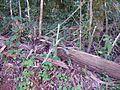 Bromélia em tronco caído.jpg