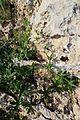 Bryonia dioica kz5.jpg