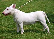 Bull Terrier R 01.jpg