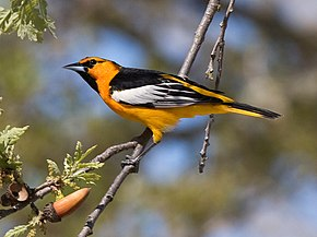 Description de l'image Bullock's Oriole.jpg.