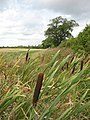 Bullrushes in the field boundary - geograph.org.uk - 1456196.jpg