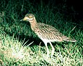 Burhinus capensis capensis (Spotted Thick-knee) - Flickr - Lip Kee.jpg