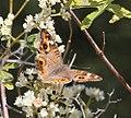 Butterfly (30701753221).jpg