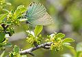 Butterfly Green Hairstreak - Callophrys rubi.jpg