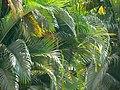 Butterfly Palm (433835493).jpg