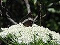Buttlefly (2689557295).jpg