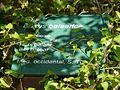 Buxus balearica - antic jardí botànic P1250804.jpg