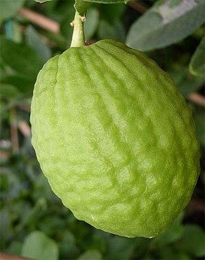 Corsican citron - Corsican citron