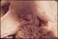 CLOSEUP OF A SHEEP'S HEAD ON A RANCH NEAR LEAKEY, TEXAS, AND SAN ANTONIO - NARA - 554889.tif