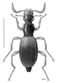 COLE Hydraenidae Podaena latipalpis.png