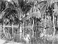COLLECTIE TROPENMUSEUM De aanplant van kokospalmen staat onder water ten gevolge van de jaarlijkse overstroming te Tandjoengpoera TMnr 10012466.jpg