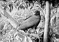 COLLECTIE TROPENMUSEUM Een slangenbuizerd (Spilornis) beschermd een jong tegen de zon Dampar Oost-Java TMnr 10006588.jpg