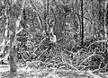 COLLECTIE TROPENMUSEUM Mangrovevegetatie te Seloe Tanimbar-eilanden TMnr 10012649.jpg