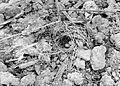 COLLECTIE TROPENMUSEUM Overhuifd nest met eieren van Vechtkwartel (Turnix s. suscitator) TMnr 10006513.jpg
