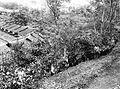 COLLECTIE TROPENMUSEUM West-Java zes jaar oude dicht op elkaar geplante guttapercha struikvormig twee jaar na licht snoeien TMnr 60020162.jpg
