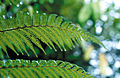 CSIRO ScienceImage 4540 Rainfall on ferns Atherton QLD.jpg
