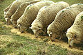 CSIRO ScienceImage 588 Sheep Eating.jpg