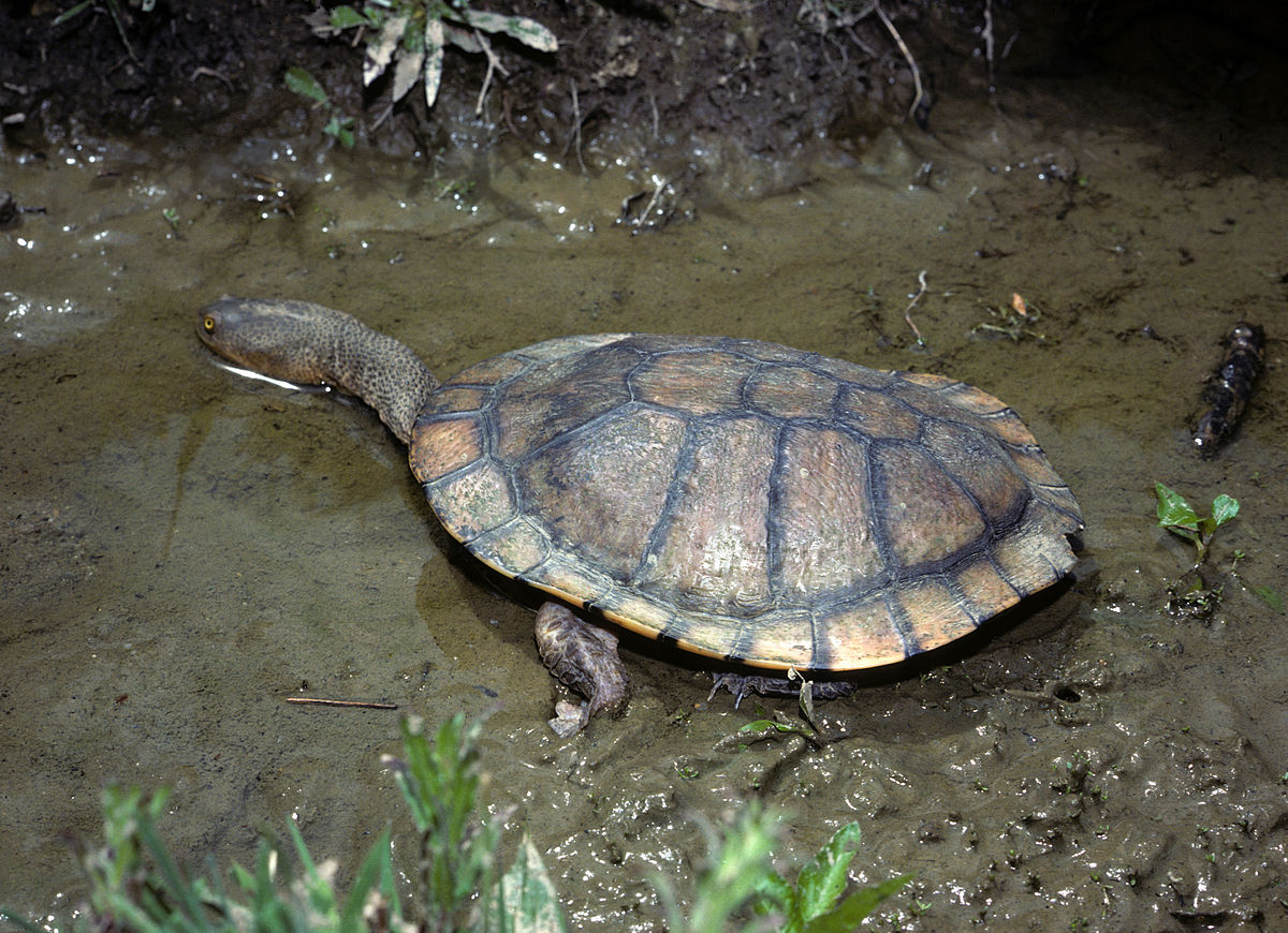 Eastern Long Necked Turtle Wikipedia