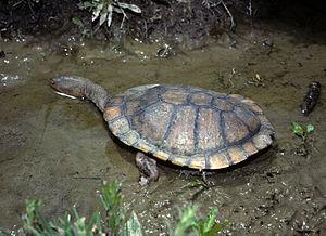 Eastern long-necked turtle - Image: CSIRO Science Image 7775 Eastern Snakenecked Turtle