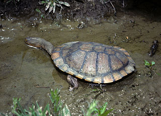 Eastern long-necked turtle species of reptile
