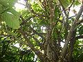 Cacao12.JPG