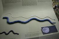 Caecilia nigricans (2963340188)