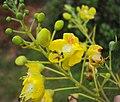 Caesalpinia sappan flowers 04.JPG