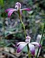 Caladenia clarkiae - cropped.jpg