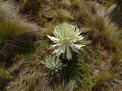 Calamagrostis effusa - Páramo de Ocetá.jpg