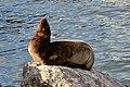 California sea lion (Zalophus californianus) Catalina baby sunning.jpg
