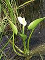 Calla palustris 4 (5097235295).jpg