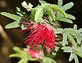 Calliandra californica 2.jpg