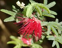 Calliandra californica 2