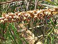 Callistemon coccineus ÖBG 09-07-16 03.jpg