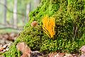 Calocera viscosa - Klebringer Hörnling - Yellow stagshorn fungi - 02.jpg
